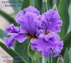 Iris DONE DUNIT