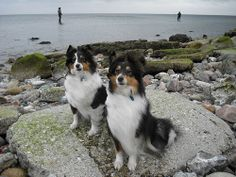 Shelties in Schönhagen