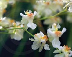 Oncidium Twinkle orchid a miniature will put by theorchidgallery