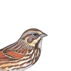 Song Sparrow. Painted and © by David Sibley