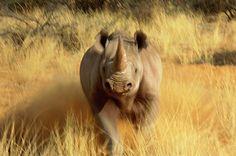 ~ Thomas D. Mangelsen - Rhino Charge!