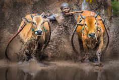 Chasing Tail by Rick White on 500px Pacu Jawi in West Sumatra Indonesia