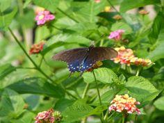 Black & Blue Butterfly from West of the Moon Writer's Retreat by Lafayette Wattles, via Behance