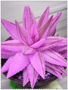 Aloe Vera - Succulent Plant - 100 seeds Succulent Bonsai, Succulent Seeds, Bonsai Plants, Garden Plants, House Plants, Flower Gardening, Edible Succulents, Rare Succulents, Planting Succulents