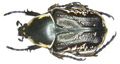 Family: Scarabaeidae Size: 13-21 mm Distribution: Morocco, Algeria, Tunisia, Andalusia, Calabria, Sicily Location: Tunisia, Hammamet leg.det. U.Schmidt, 1993 Photo: U.Schmidt, 2006