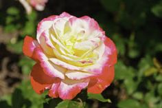 Maggie's Tips for Growing Roses | Edmonton Horticultural Society