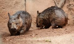 The wombat resembles a cross between a dog and a pig. Like its Down Under cousins the koala and kangaroo, the wombat is a marsupial.   Three species of these nocturnal animals inhabit the forests, mountains and grasslands of Australia. Discover more about these tunnel-digging animals.