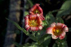 Redwhite Flower And Yellow Bloom https://madipix.com/redwhite-flower-and-yellow-bloom/