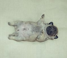 Baby pug is all conked out