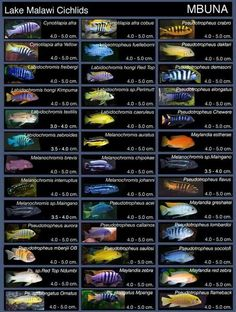 Lake Malawi Cichlids                                                                                                                                                                                 More