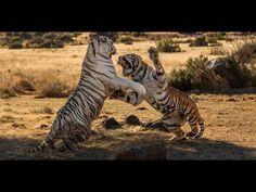 Funny cat video. Most cruel fight predator cats for meat  LOL