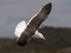 Selkälokki, Lesser Black-backed Gull, Larus fuscus- iso Huopalahti, Helsinki 19.4.2017