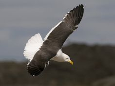 Selkälokki, Lesser Black-backed Gull, Larus fuscus/ Iso Huopalahti, Helsinki Herring Gull, Gulls, Shorebirds, Sea Birds, Helsinki, Bird Houses, Bald Eagle, Finland, Feathers