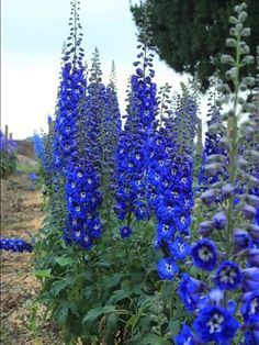 Delphinium, Cobalt Blue, consistently deep cobalt blue color