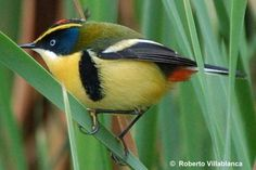 """The many-coloured rush tyrant, known in Spanish as """"Siete colores"""" (Tachuris rubrigastra)."""