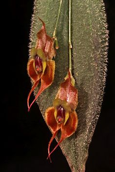 Lepanthes mastodon, from the cloud forests of Ecuador and Colombia