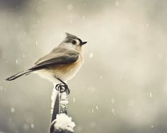One of my favorite birds - a tufted titmouse
