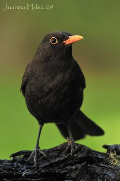 Trendy Black Bird Photography Blackbird You are in the right place about Birds Photography natur Colorful Bird Tattoos, Red Bird Tattoos, Black Bird Tattoo, Colorful Birds, Tattoo Bird, Little Black Bird, Big Bird, Little Birds, Big Black