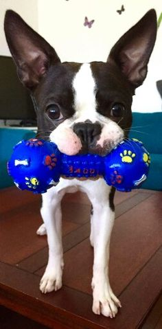 """Check out our web site for even more relevant information on """"boston terrier puppies"""". It is actually an outstanding location to read more. Akc Breeds, Terrier Dog Breeds, Terrier Puppies, Pitbull Terrier, Bulldog Puppies, Boston Terrier Love, Boston Terriers, American Bull, Puppy Love"""