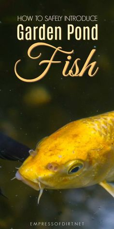 Simple instructions for introducing fish including goldfish and koi to a backyard garden pond plus tips for creating and maintaining a healthy habitat. #gardening #gardenpond #backyardpond #pondfish #gardentips #pondtips #empressofdirt