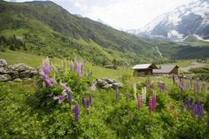 There's no denying it: Wildflowers just look and smell better in the alps.
