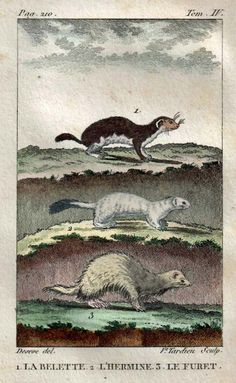Weasels Hand Colored Engraving: Ferret, Stoat and Least Weasel, Buffon, 1802 | A hand colored engraving of three mammals of the family Mustelidae (Weasels) from Buffon's Natural History collection (Quadrupedes). This is an extraordinary little antique hand colored engraving of a Least Weasel, a Stoat and a Ferret.