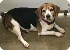 Columbiana, AL - Beagle Mix. Meet Lola, a dog for adoption. http://www.adoptapet.com/pet/16323177-columbiana-alabama-beagle-mix