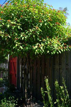 Firebush. Shaped like a tree. Florida Native Plants Nursery.