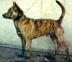 Training Formosan Mountain Dogs
