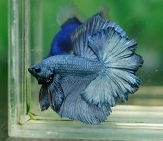 A Betta fish in ghostly blue-gray