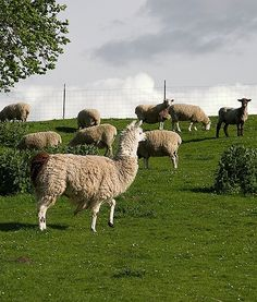 Explore many types of pets to find the right match. Research adoption, breed characteristics, & pet care. Down On The Farm, Alpacas, E Cards, Livestock, Farm Animals, Pet Care, Homestead, Sheep, Goats