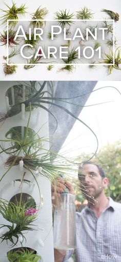 """Air plants (also known as tillies, or tillandsias, after their genus name) can be tricky to keep alive. Well-intentioned lovers of these plants might mistake """"no soil"""" for """"no water,"""" which isn't the case. """"Air plant"""" does not mean """"breatharian of the plant world."""" Get all the tips here:  http://www.ehow.com/how_12340933_air-plant-care-101.html?utm_source=pinterest.com&utm_medium=referral&utm_content=freestyle&utm_campaign=fanpage"""