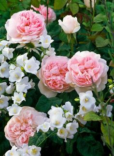 Fragrant and eye-catching! This mix is particularly lovely in late spring or early summer when the fortissimo scent of the Roses is exquisite!