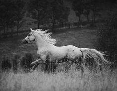 """Polubienia: 1,614, komentarze: 8 – Rebecca Tengström (@rebeccatengstromphoto) na Instagramie: """"BW #pferdeschoenheiten #europaspferde#worldbesthorses…"""""""