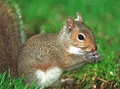 The Eastern gray squirrel was designated the official state mammal of North Carolina in 1969.
