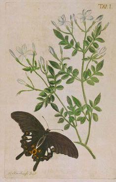 Poet's Jasmine  (Jasminum grandiflorum)