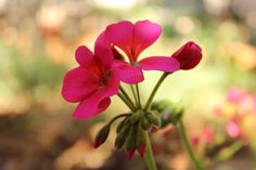 Koyu Pembe Sardunya / Dark Pink Geranium  Photo By www.nesedentarifler.com