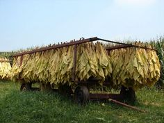 tobacco on a tobacco wagon