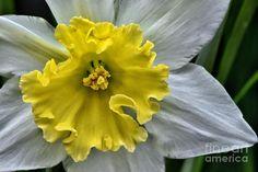 Daffodil Photograph - Daffodil by Norman Gabitzsch