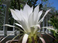 Echinopsis subdenudata . . .