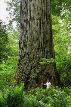 The Del Norte Titan, the third largest coast redwood by volume, Jedediah Smith Redwoods State Park