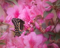 Charles Opper posted a photo:  Early during the Spring, the Black Swallowtail butterflies are the first to visit my Azalea flowers. For a few days, I was able to capture this visitor enjoying its feast. The Azalea blooms pass so quickly, especially when they bloom unexpectantly early here in southern Georgia. I am heading out to Callway Gardens and exploring during the week. There shall be plenty of photography and plein air painting. When I get back, I shall be shooting the Milky Way back…