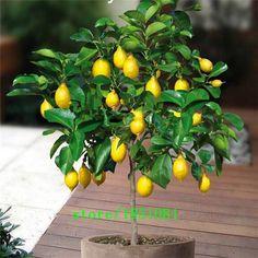 Grande vente 20 Nain Citron Arbre Graines --- Naturel Parfum D'intérieur, BRICOLAGE Maison Jardin Bonsaï, parfumé