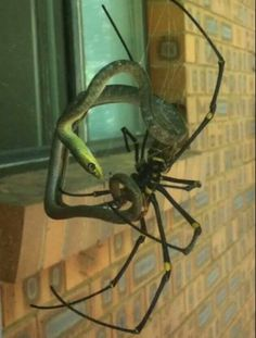 Golden silk orbweaver - a spider so large it preys on birds and snakes