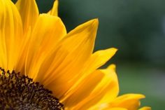 Yellow sunflower by StephsShoes