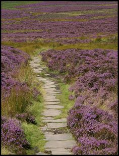 Heather moors of Scotland.