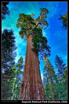 Giant Sequoia Trees, Giant Tree, Big Tree, Sequoia National Park California, General Sherman, Unique Trees, Tree Forest, Illustrations And Posters, Beautiful Landscapes