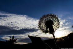 Kites dandelions by Sebastian Lacherski on 500px