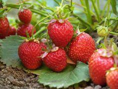 Beeren düngen – So wird's gemacht