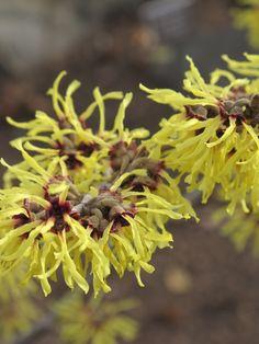 Hamamelis x intermedia 'Spring Promise'